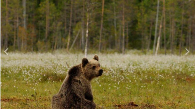 Inseguimento all'orsa con il cucciolone: identificati e sanzionati i responsabili