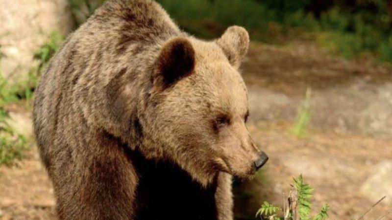 Identificato l'orso che ha attaccato due persone sul monte Peller