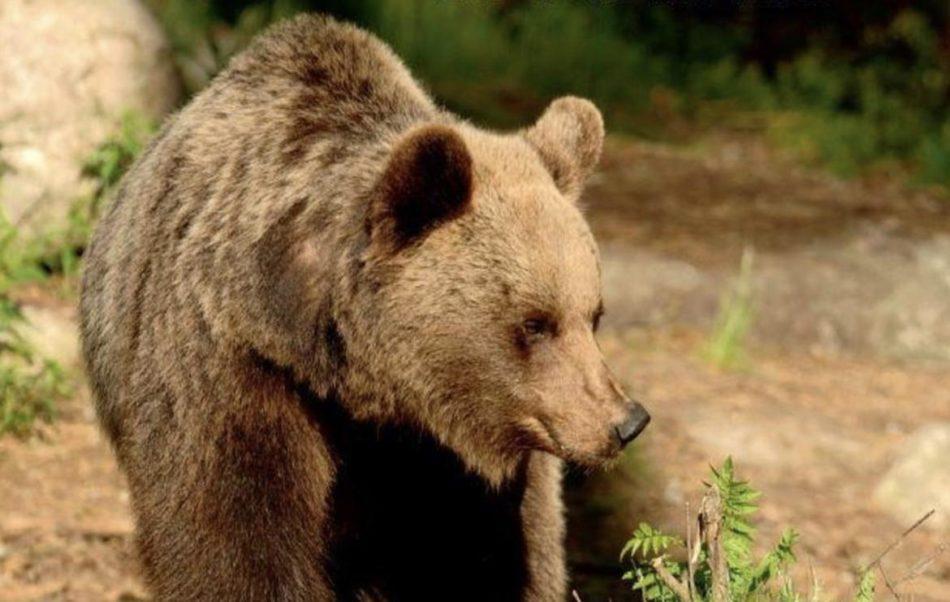Il presidente Fugatti ordina l'abbattimento dell'orso del Peller
