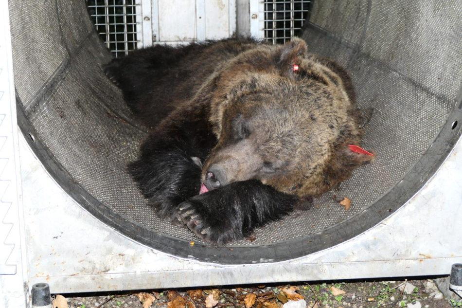 Orsi. La genetica conferma: è JJ4 l'orsa radiocollarata sul Peller