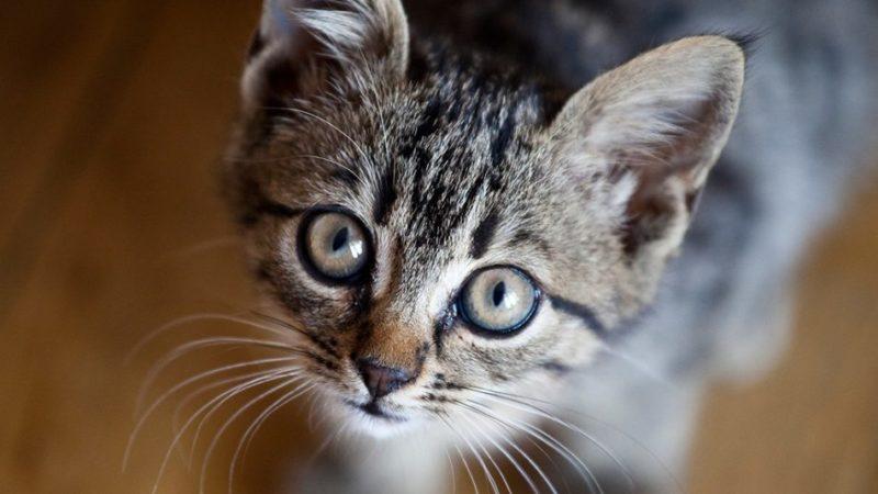 Nei pressi dell'Hotel Bellavista di Giustino è stata ritrovata una gatta grigia in fase di allattamento