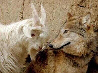 Il lupo e la bianchina
