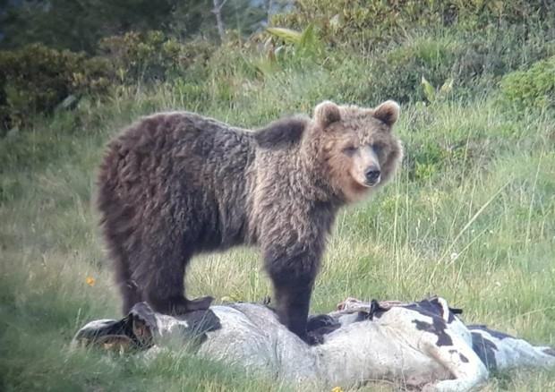 Orso nel Parco Naturale Adamello Brenta