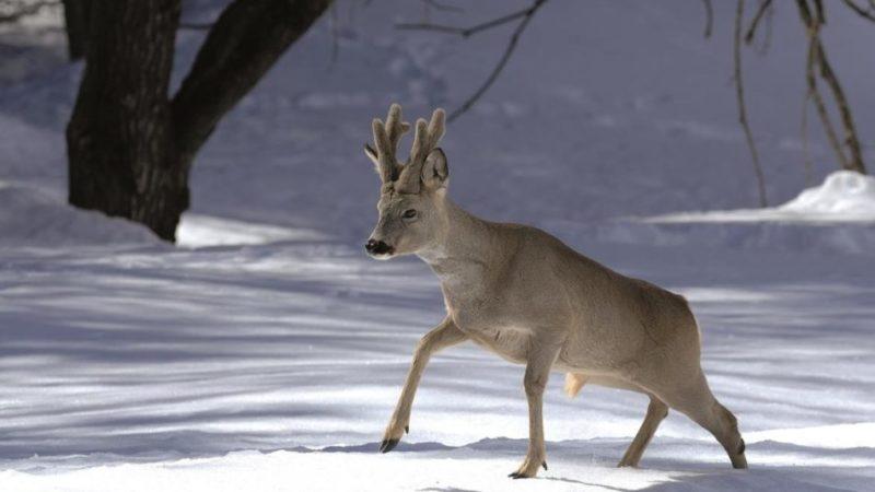 Fauna selvatica, rispettarne i ritmi naturali anche con le abbondanti nevicate