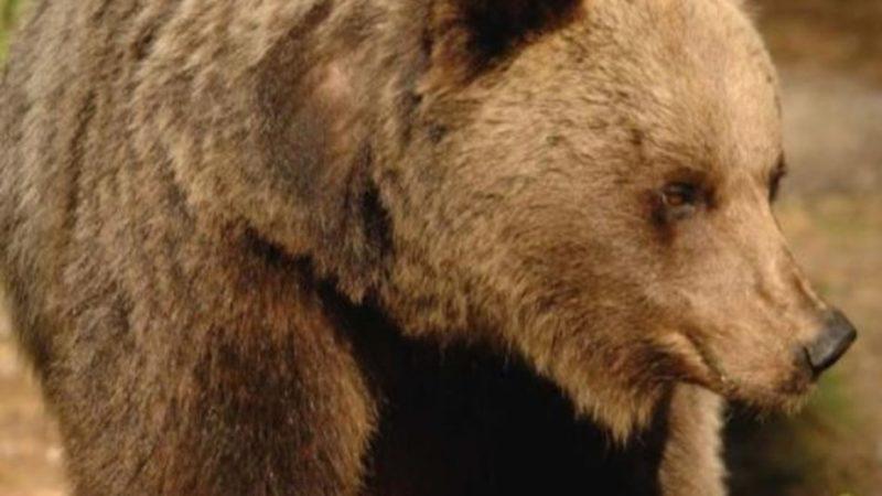 Brigitte Bardot verrà in Trentino per valutare il trasferimento degli orsi del Casteller