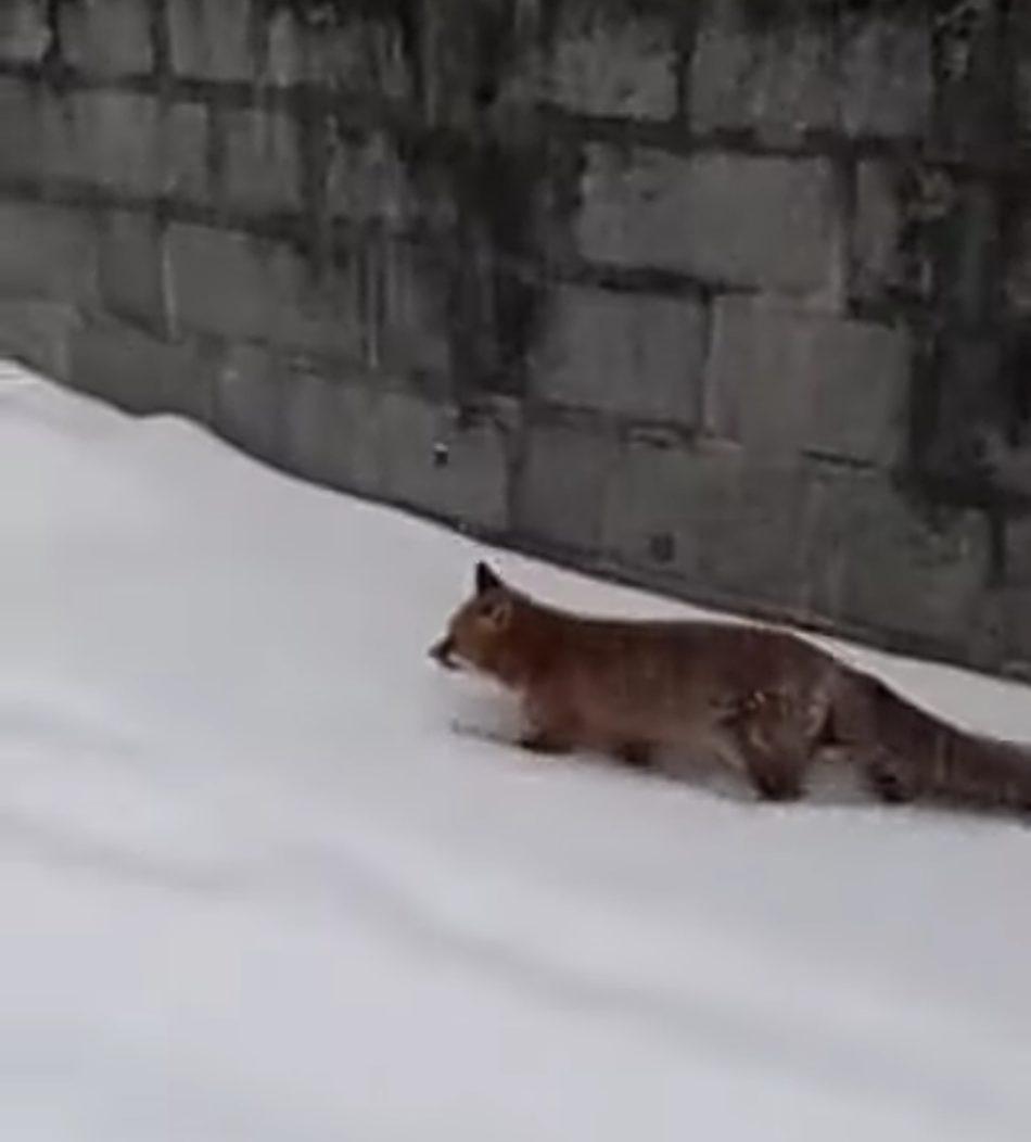 Pinzolo: la volpe scende in paese sotto la fitta nevicata