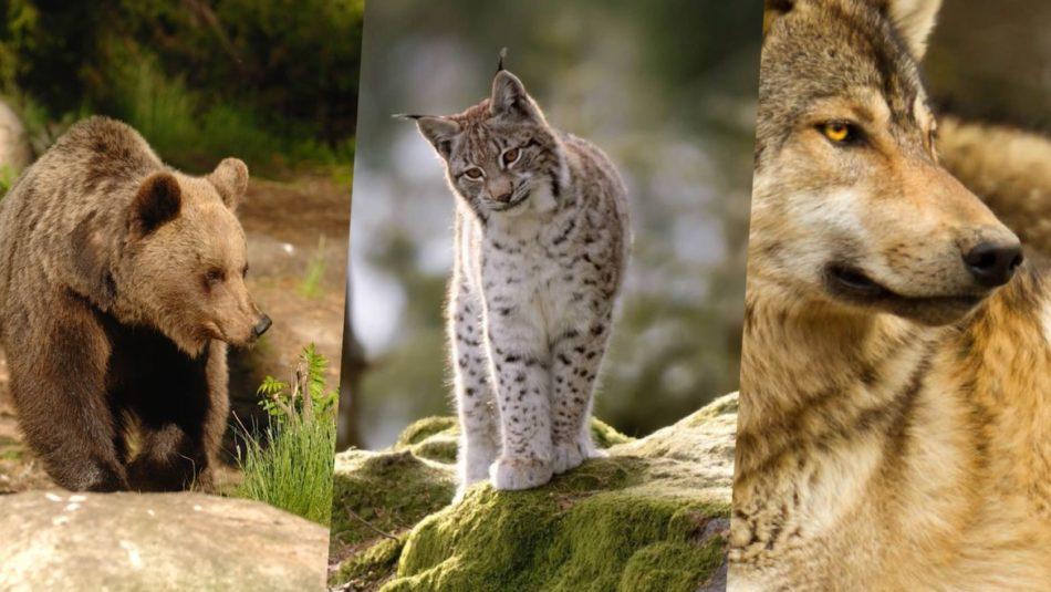 Grandi carnivori in Trentino: un centinaio di orsi e 17 branchi di lupi