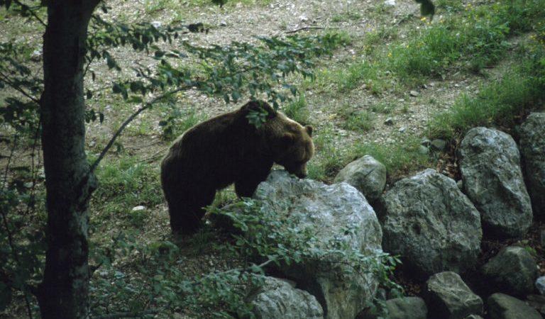 Ragoli, morto un orso investito da un'auto