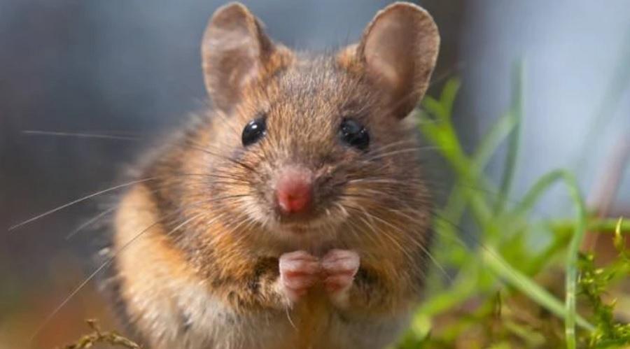 """Tanti ratti e topi di campagna? La colpa è della cosiddetta annata di """"Pasciona"""""""