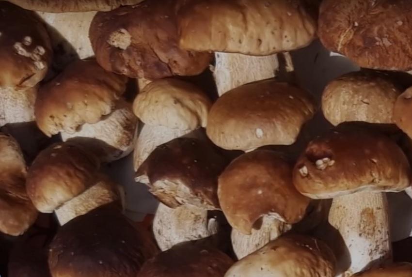 Finalmente sono tornati i funghi in val Rendena, specialmente porcini