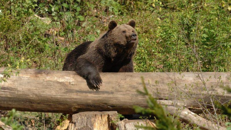 Rinvenuta una carcassa di orso